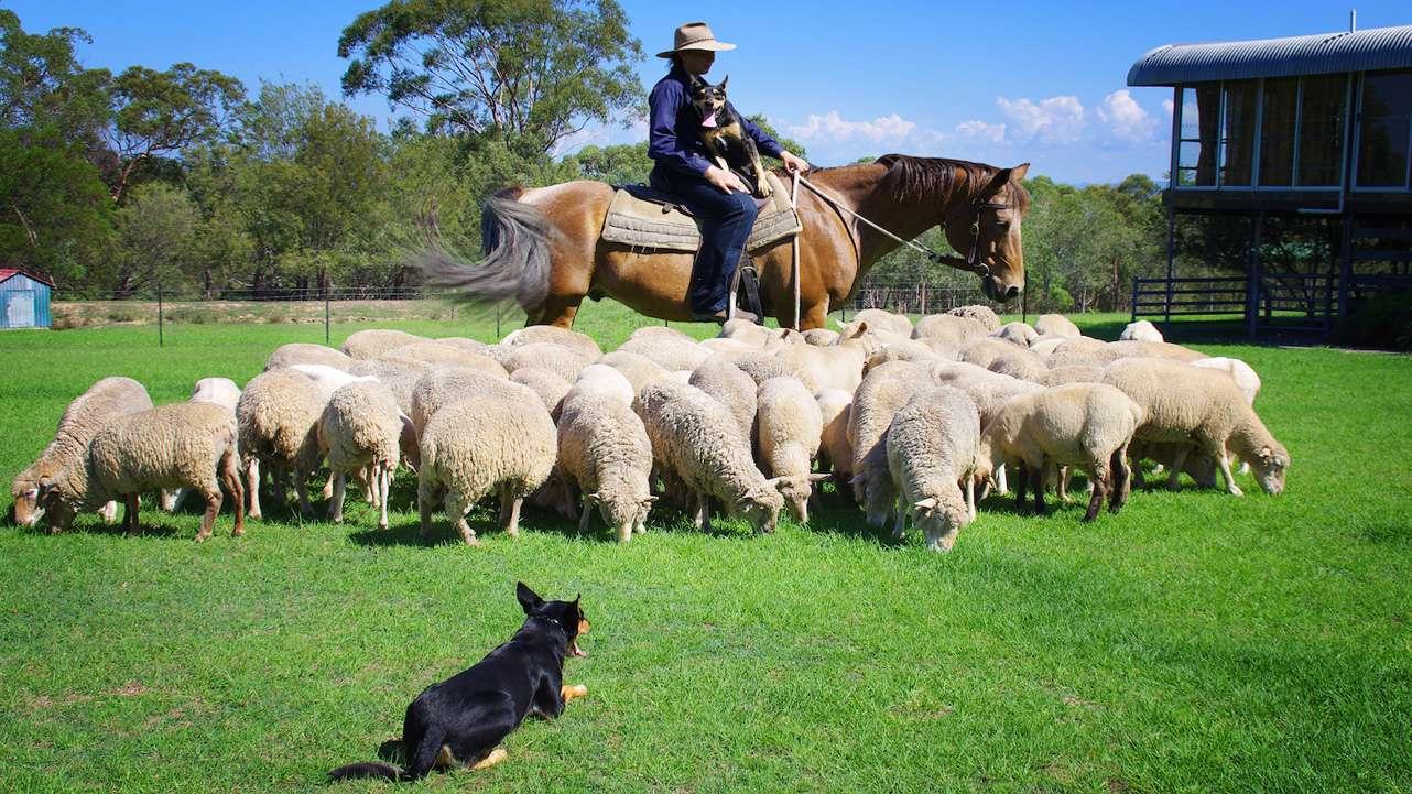 Sheep and working dog